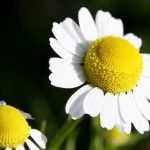 Chamomile, how to collect