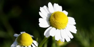 Chamomile how to collect
