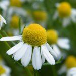 Χαμομήλι – Matricaria Chamomilla