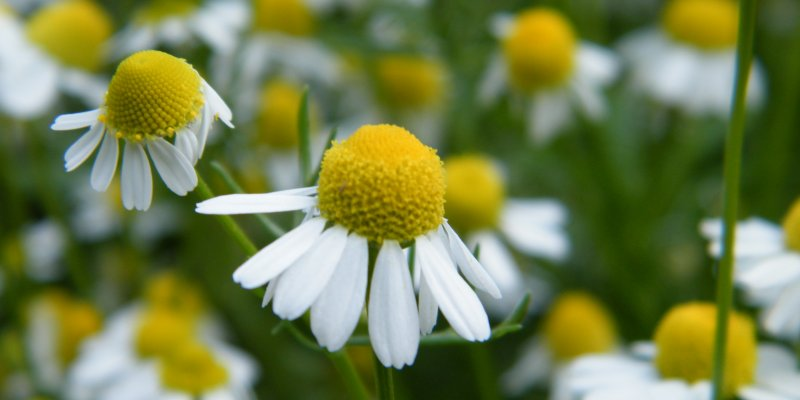 Chamomile health benefits