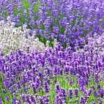 Lavender: what it is, how to grow & harvest