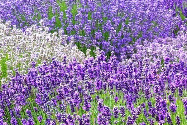 Lavender nutritional value