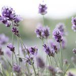 Lavender cosmetics uses