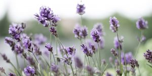 Lavender skin and hair benefits