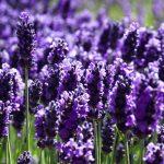 Lavender – Lavandula Angustifolia