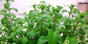 Mint nutritional value