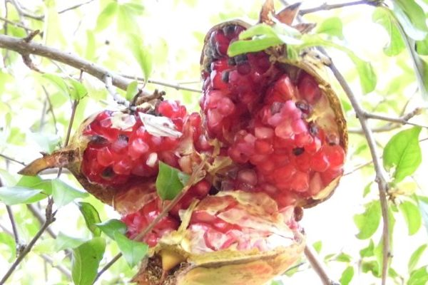 Pomegranate nutritional value