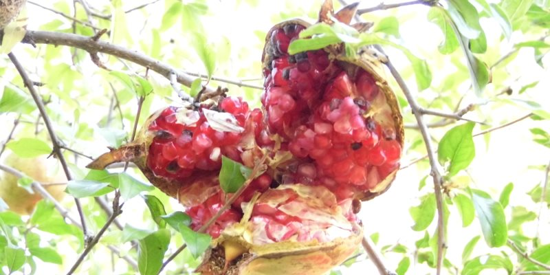 Pomegranate nutritional value