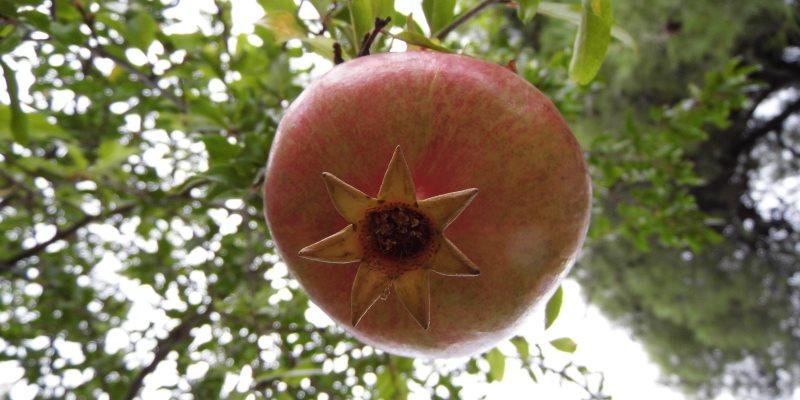 Pomegranate – Punica Granatum