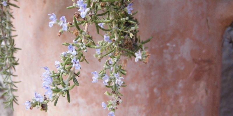 Rosemary skin and hair benefits