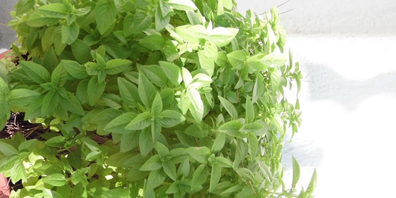 Basil nutritional value
