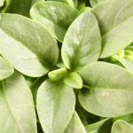 Basil and its cosmetic properties