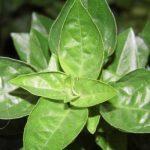 Basil – Ocimum Basilicum