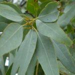 Eucalipto, ingredientes y forma de recolectar