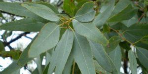 Eucalyptus nutritional value