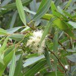 Eucalyptus – Eucalyptus globulus