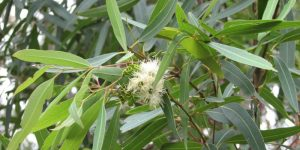 Eucalyptus health benefits