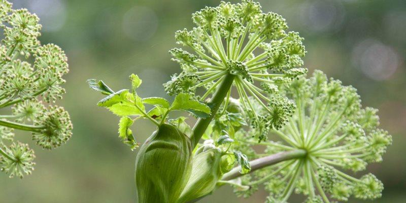 Angelica archangelica cosmetic uses
