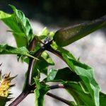 Δηλητηριώδη Φυτά και Βότανα Ι Μέρος 2ο