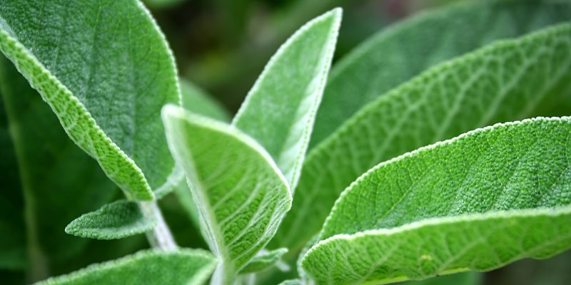 Sage skin and hair benefits