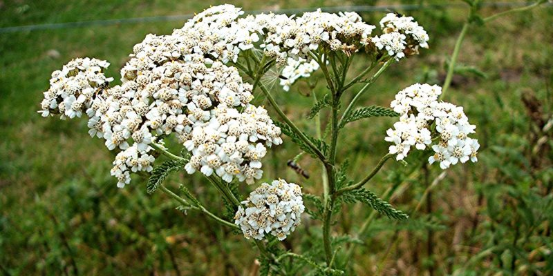 Achillea millefolium how to collect