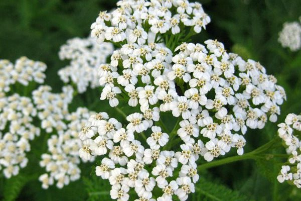 Yarrow skin benefits