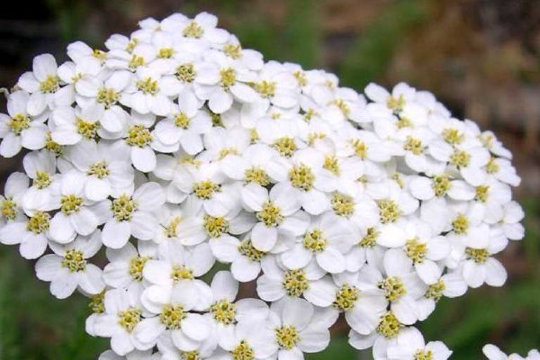 Yarrow health benefits