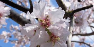 Almond and almond oil cosmetic uses