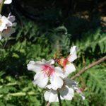Αμύγδαλο – Prunus Amygdalus