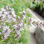 Λουΐζα – Lippia Citriodora