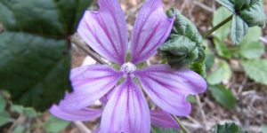 Mallow nutritional value and how to collect