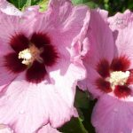 Αλθαία – Althaea Officinalis