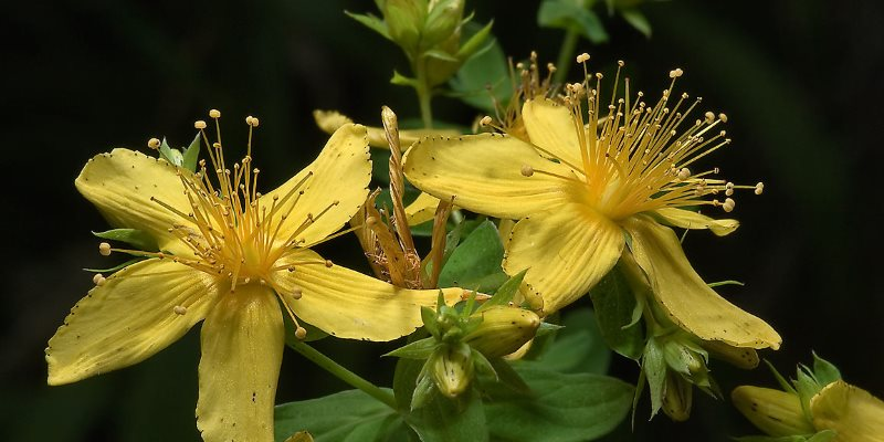 St John's-wort nutritional value