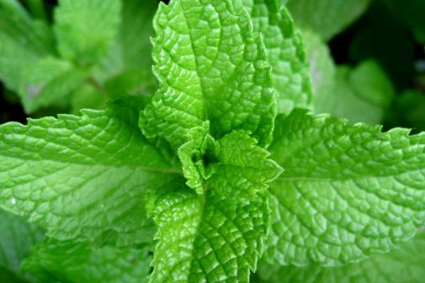 Spearmint health benefits