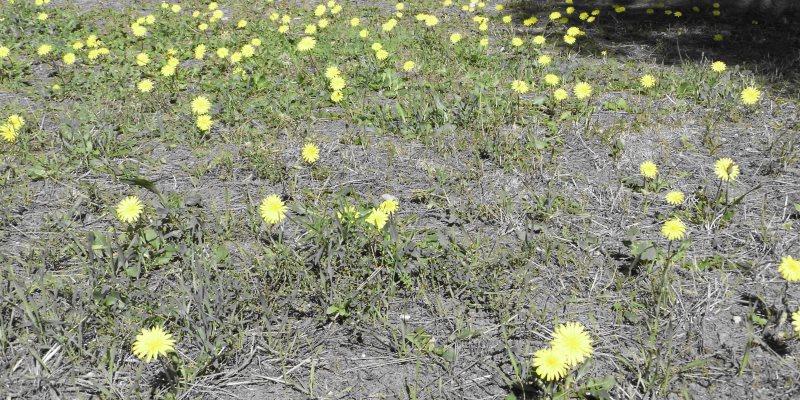 dandelion nutritional value