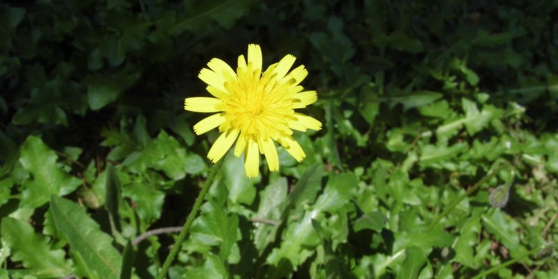 dandelion skin benefits