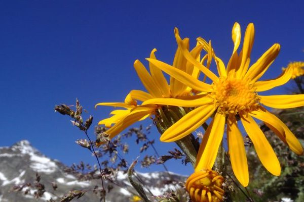 Arnica herb where to find