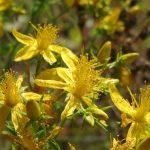 Βαλσαμόχορτο – Hypericum Perforatum
