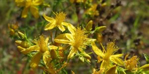 St John's-wort health benefits