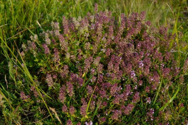 Thyme nutritional value
