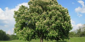 horse chestnut collection