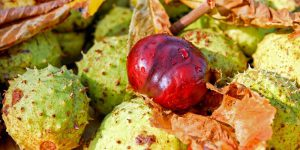 horse chestnut health benefits
