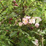 Άγρια Τριανταφυλλιά, συλλογή δρόγης