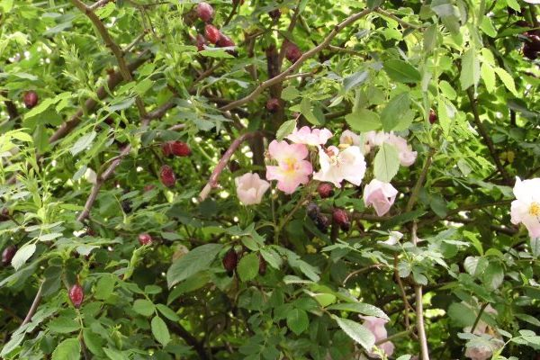 Wild rose nutritional value