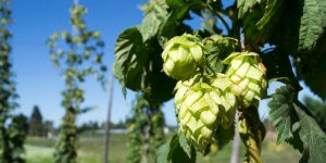 Hops skin and hair benefits