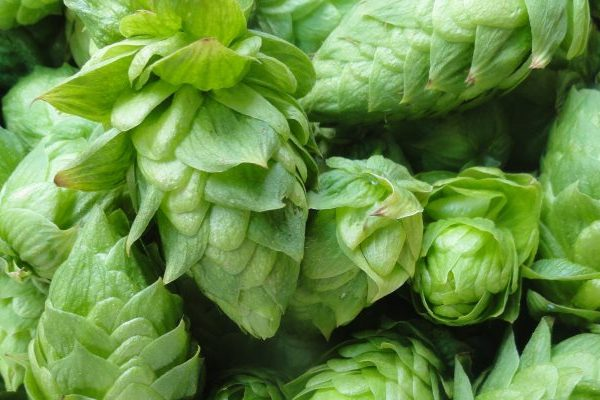 hops health benefits