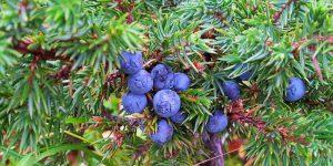 juniper cosmetic uses