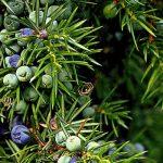 Άγριο Κυπαρίσσι, Άρκευθος – Juniperus Communis