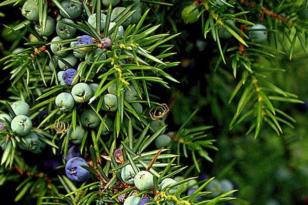 juniper health benefits