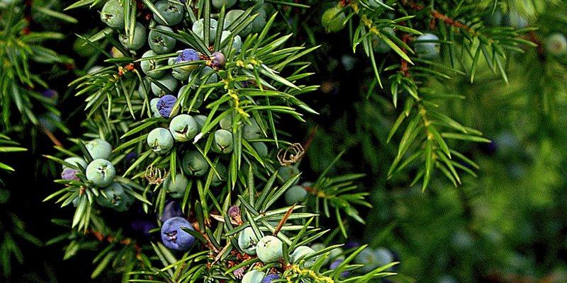 juniper health benefits
